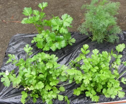 051713 cilantro, parsley, dill