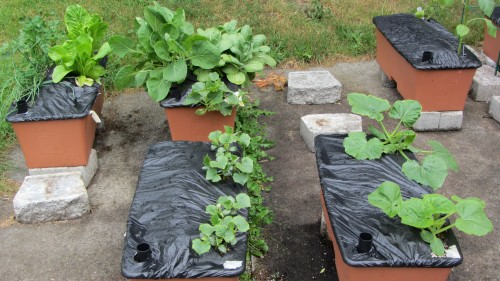 Foreground is the cucumbers and zucchini. The brussels sprouts and bok choi are in the back right box.