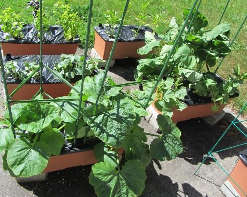 060213 zucchini