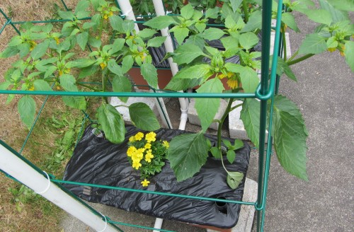 """Yellow marigolds in the center of the box. All the marigolds are the """"French"""" variety, which are supposed to be the best type for companion planting."""