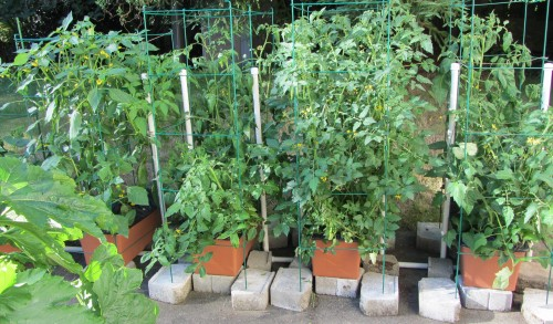 063013 tomatoes