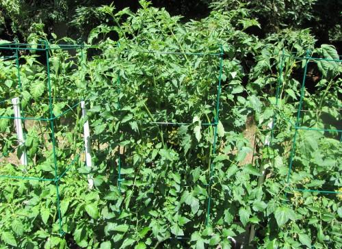 070713 tomatoes