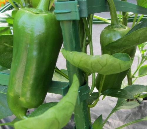 070713 pepper gourmet