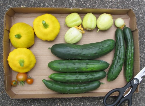A couple of pounds of regular cucumbers and a pound of patty-pans. Also lemon cucumbers and a few tomatoes.