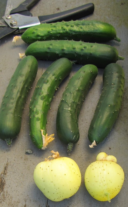 072113 cucumbers late day