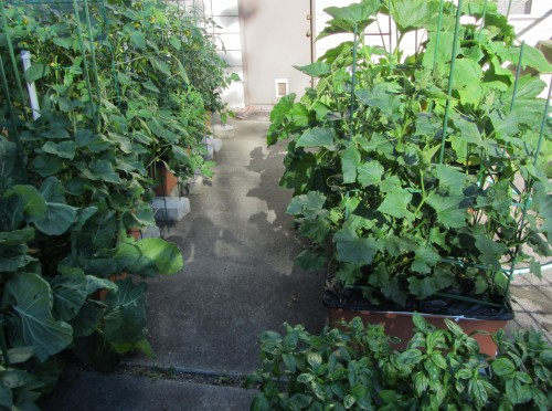 Look closely in front of the zucchini. That's the cucumbers, which are now almost five feet tall.