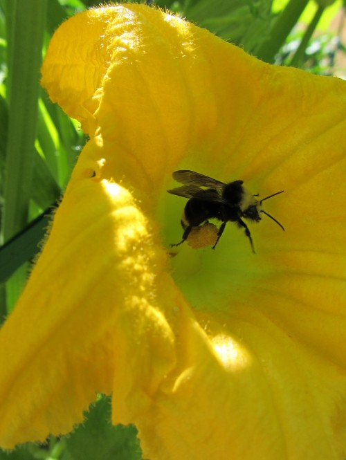 It's a big bee, and a bigger flower.