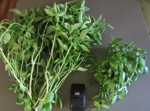 082513 basil harvest
