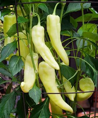 Hot Pepper_Banana