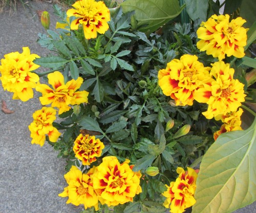 080413 marigolds 2