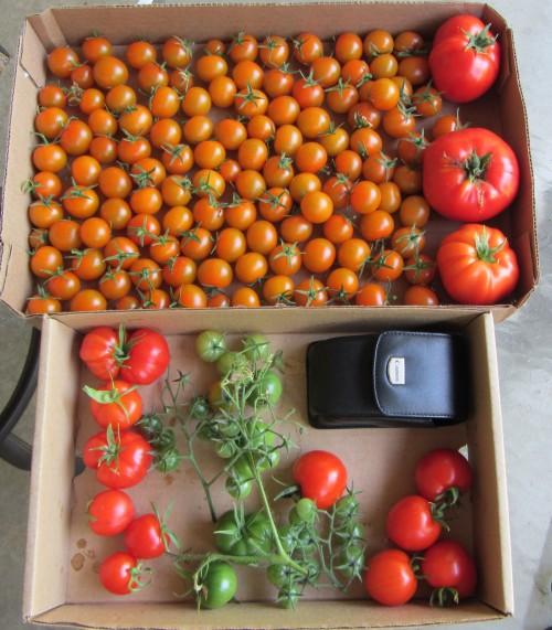 082513 tomato