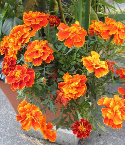 080413 marigolds 3