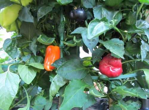 082513 sweet peppers