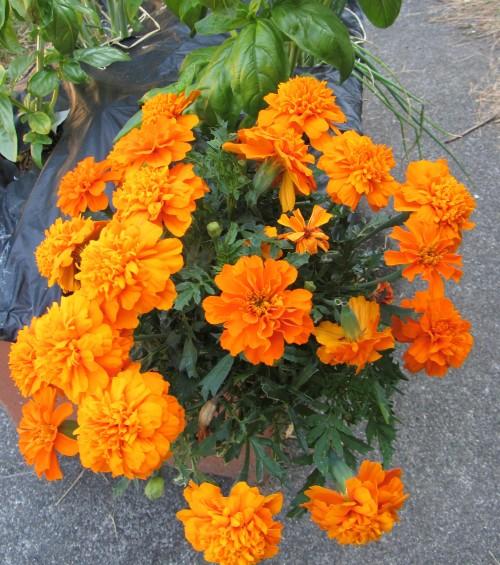 080413 marigolds 1