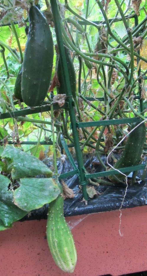 091513 cucumber