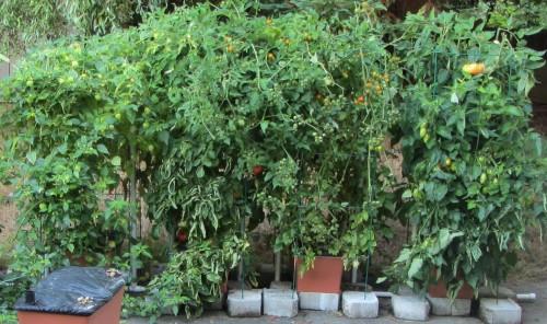 090113 tomatillo and tomato