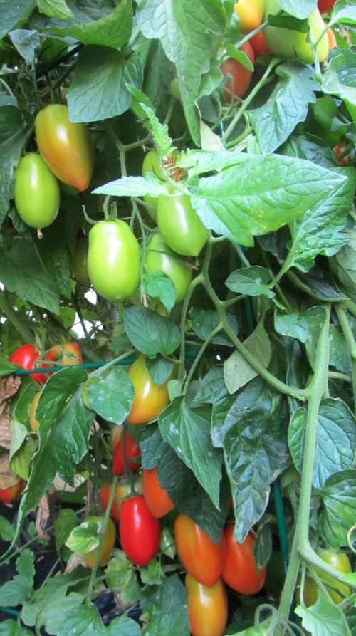 090813 tomato