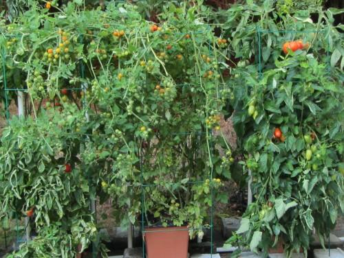 090813 tomatoes