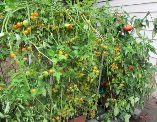 091513 tomatoes