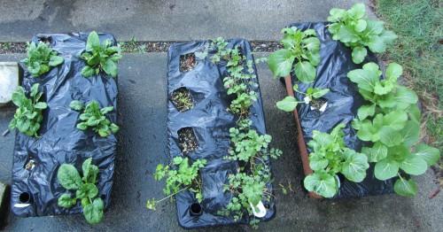 (L-R) Spinach, Parsley, Cilantro, Pak Choi