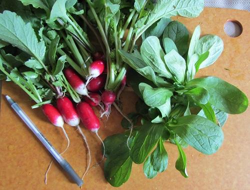 042114 radish and mache
