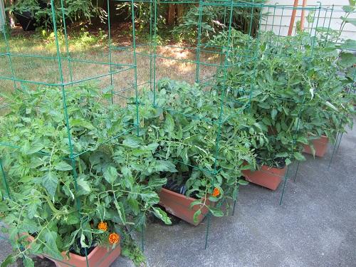 140621 tomatoes