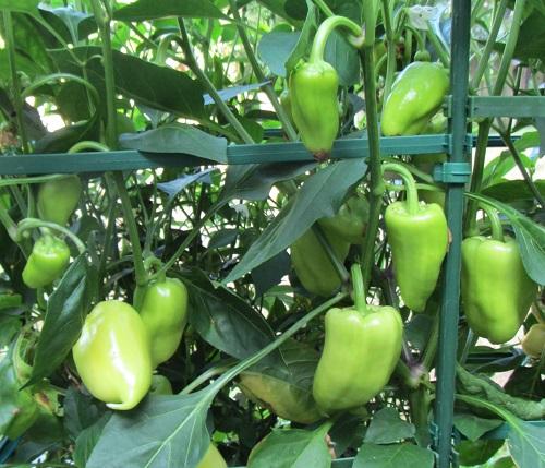 140724 gypsy pepper