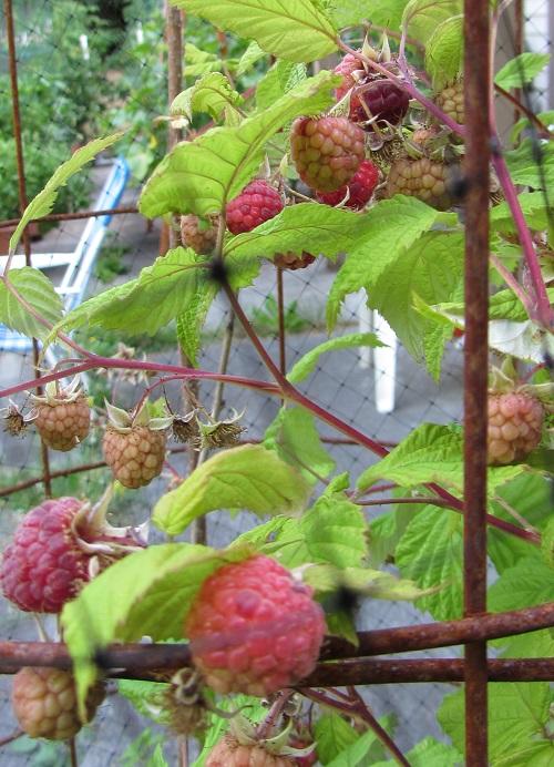 150628 raspberry