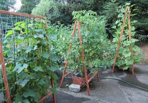 150705 cucumber tomatillo tromboncino