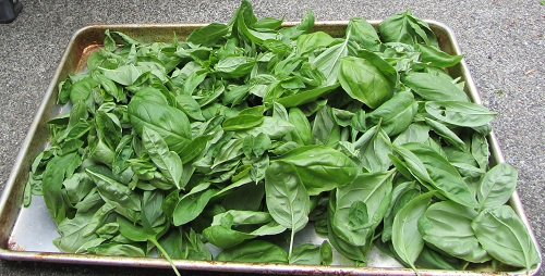 150712 picked basil