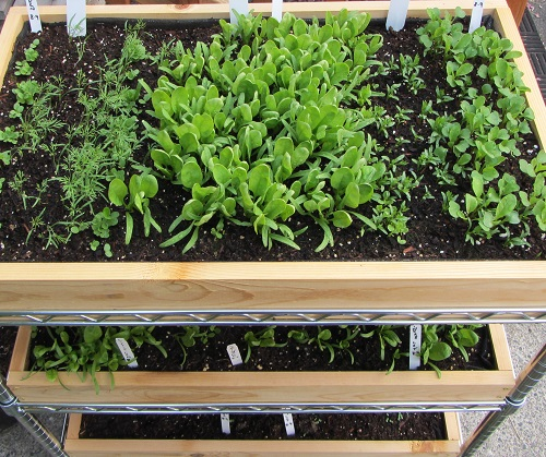 (L-R) Little Gem, Dill, Little Gem, Spinach, Cilantro, Arugula.
