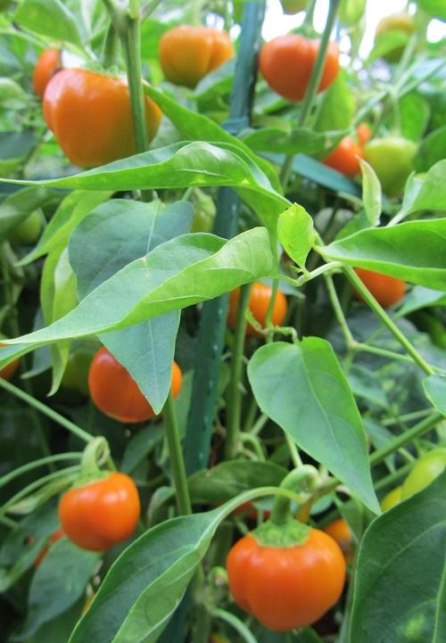150822 yellow pepper