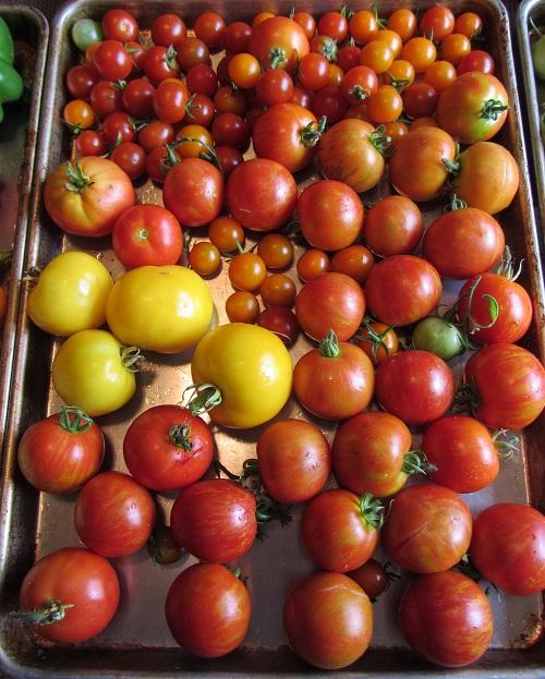 150829 harvest3