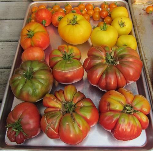 150822 harvest1