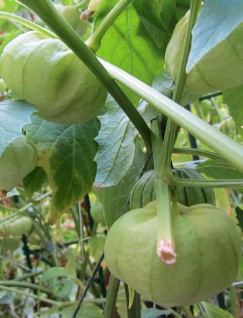 150809  tomatillo
