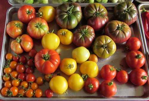 150913 tomato