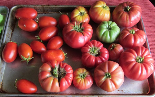 150913 tomato2