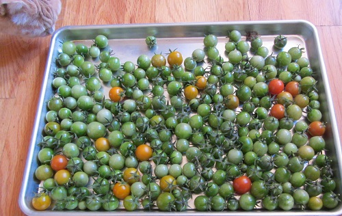 151004 harvest