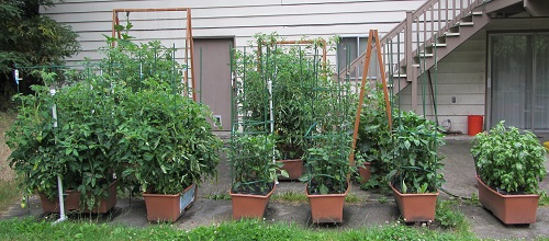 Tomatoes on the left, basil on the right, peppers in the center.