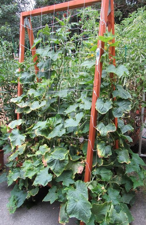 160806 cucumber