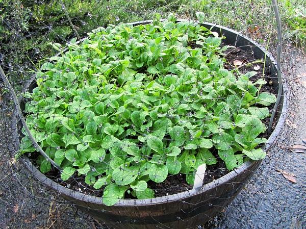 161103-salad-greens
