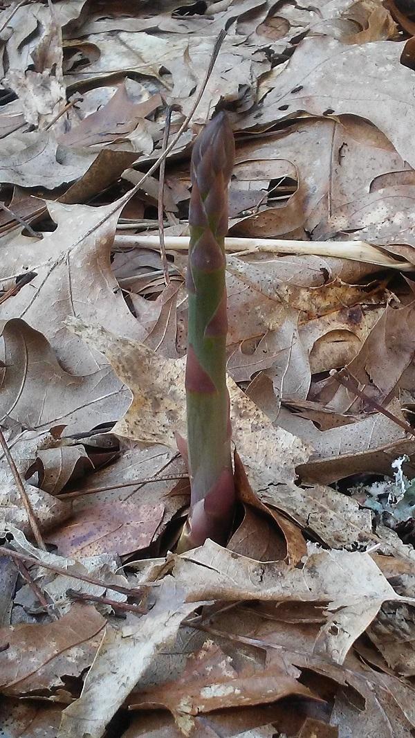 170406 asparagus