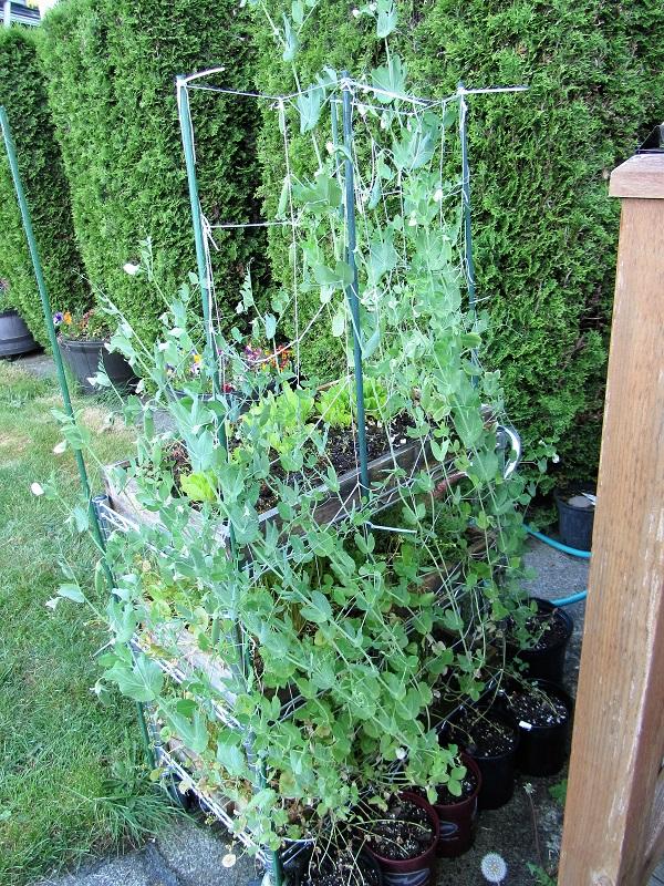 170529 pea plants
