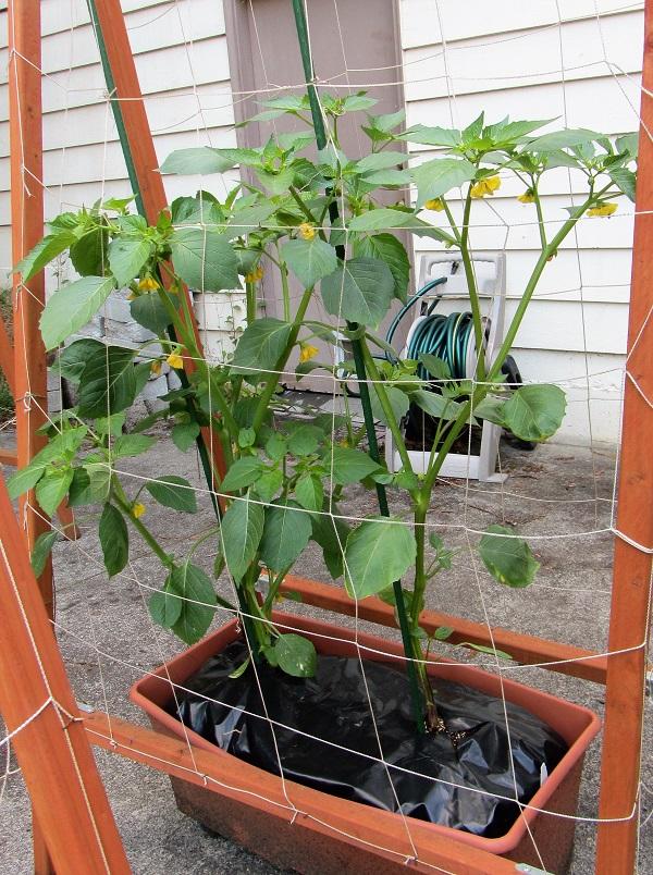 170611 tomatillo