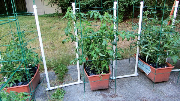 170625 tomato