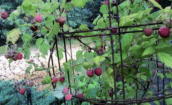 170716 raspberry plant