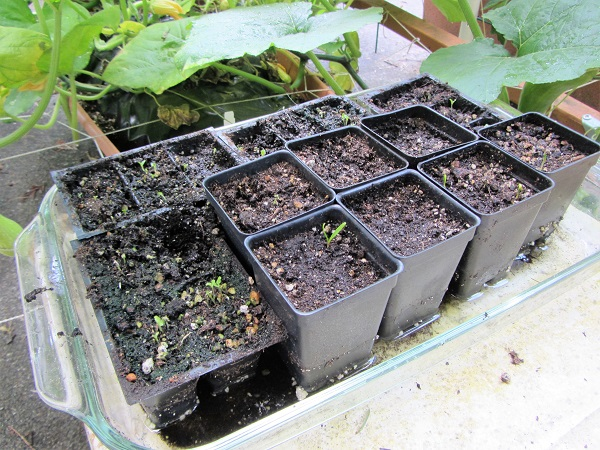 170716 seedlings