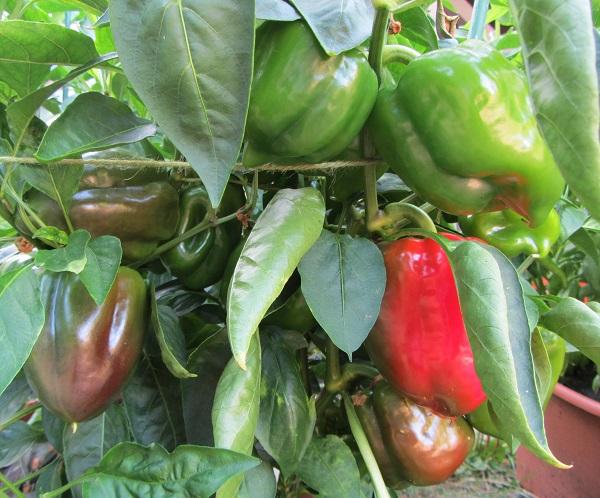 170820 bell pepper