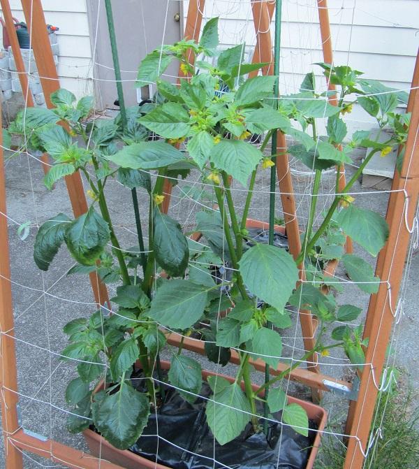 190609 tomatillo