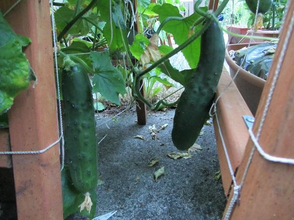 190728 cucumbers